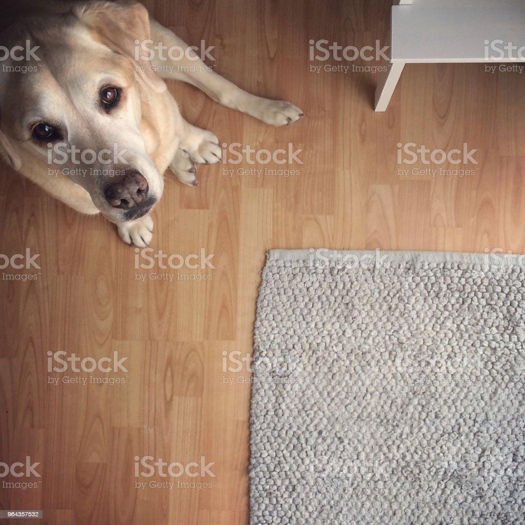 Labrador Retriever Up olhando câmera enquanto está sentado - Foto de stock de Canadá royalty-free