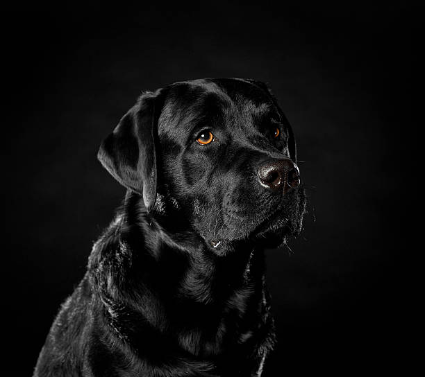 Labrador Retriever on a black background in the studio stock photo
