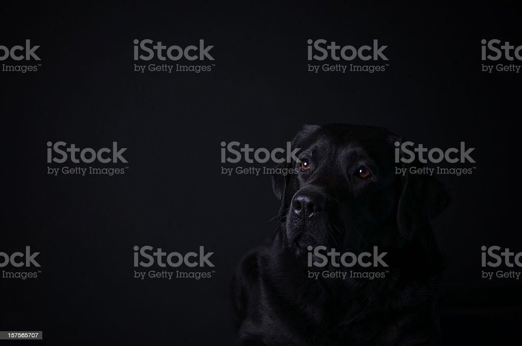 Labrador retriever on black background royalty-free stock photo