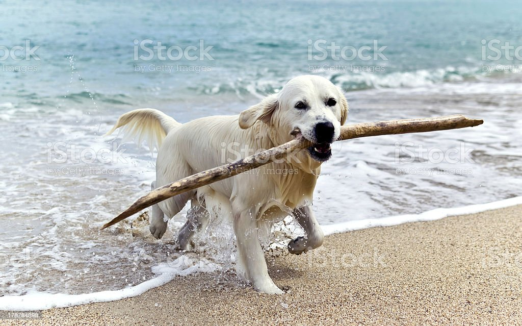 Labrador retriever on the beach with a stick in its mouth stock photo