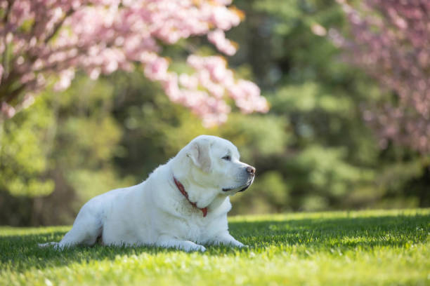 Labrador Retriever Outside in Spring stock photo