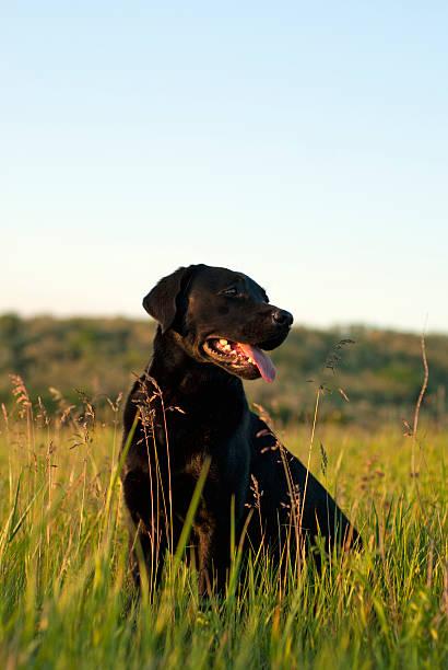 Labrador retriever – Foto