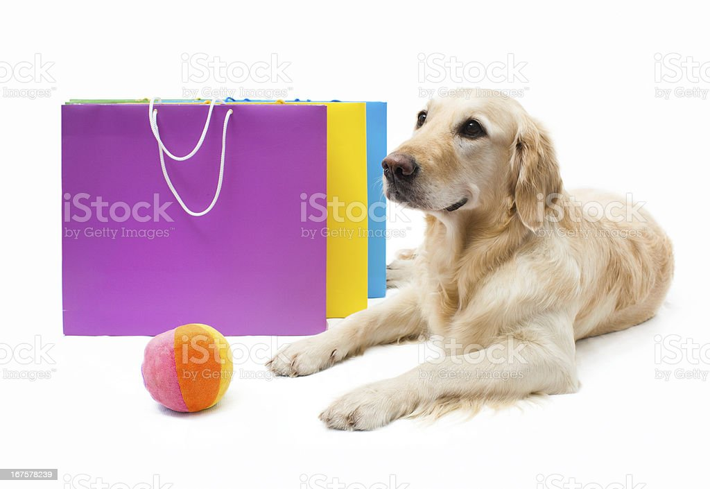 Labrador retriever royalty-free stock photo
