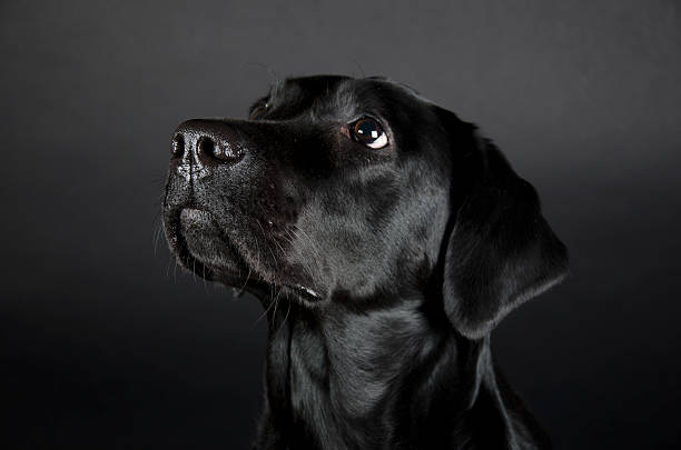 Labrador Retriever stock photo