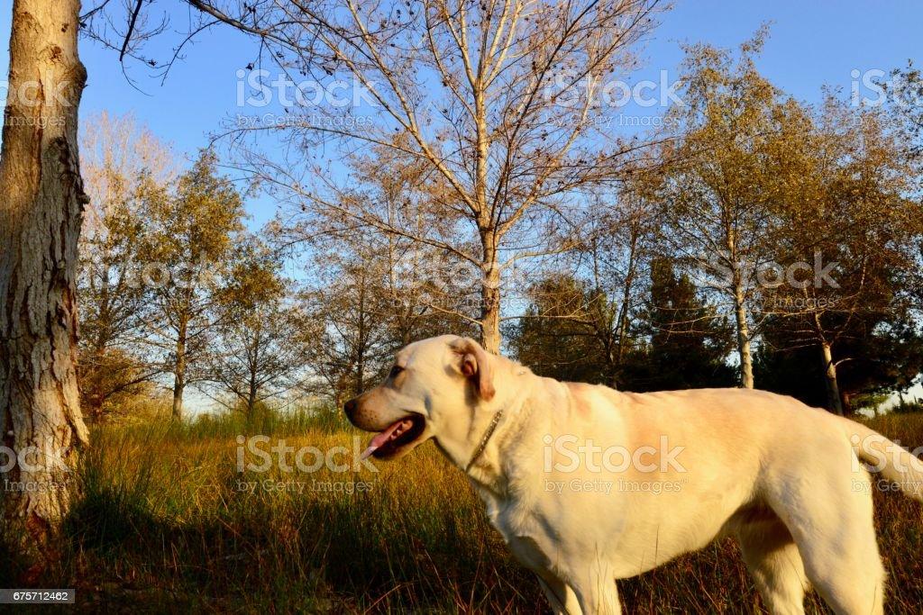 拉布拉多犬 免版稅 stock photo
