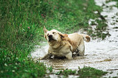 Funny dog shaking head while standing in puddle of dirty water and playing in green nature on rainy day