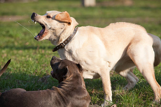 Labrador retriever playing with pit bull terrier stock photo