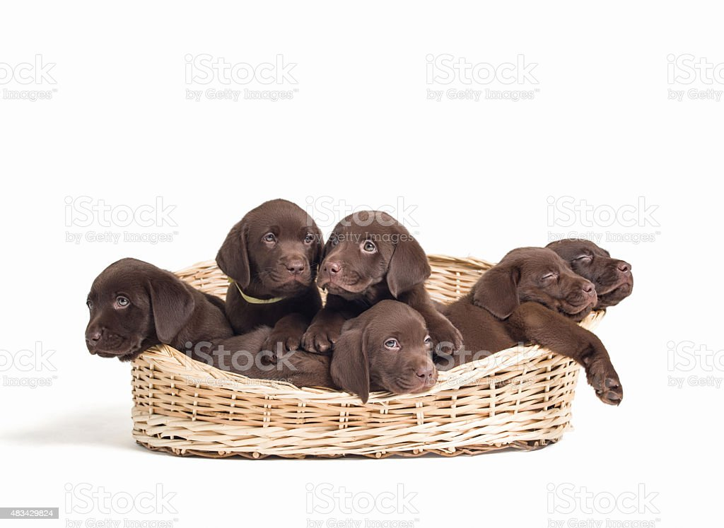Labrador retriever puppies sitting on basket stock photo