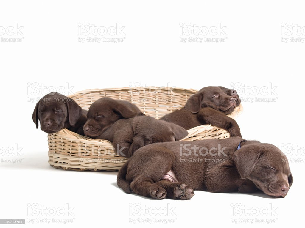 Labrador retriever puppies sleeping on basket stock photo