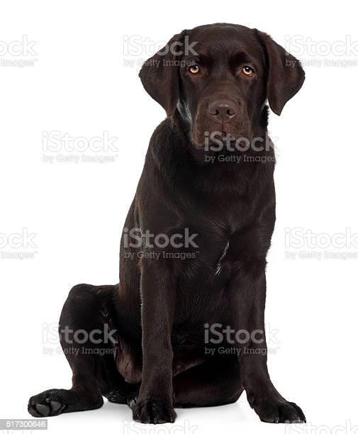 Labrador retriever puppy 6 months old sitting picture id517300646?b=1&k=6&m=517300646&s=612x612&h=cnmqr7xs3crqrhvmimbsnwothbqbl5mcnwxckvckcms=