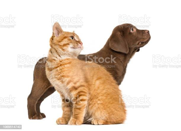 Labrador retriever puppy and ginger cat in front of white background picture id1069514740?b=1&k=6&m=1069514740&s=612x612&h=zigj7wq7my2szjjxltdhmesoyp1yjcgj1xflrezle88=