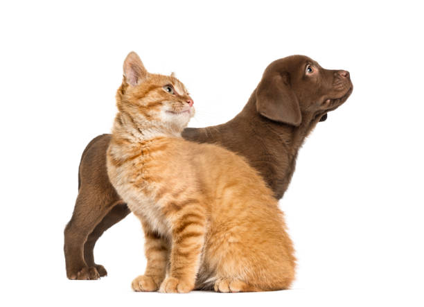 Labrador Retriever Puppy and Ginger cat, in front of white background – zdjęcie