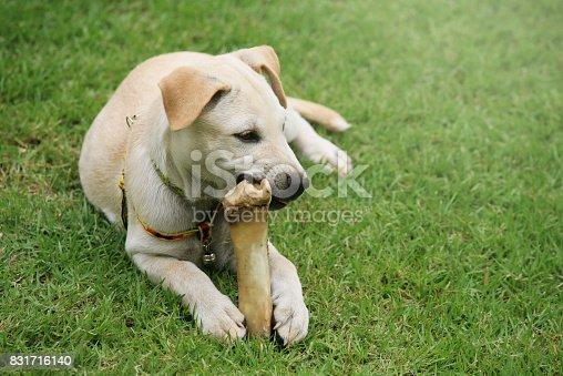 Cute Labrador Retriever puppy chewing big bone on grass field