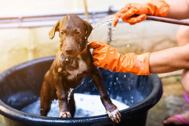 labrador retriever welpen hund baden dusche - sonnendusche stock-fotos und bilder