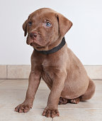 Labrador Retriever puppy dog hoping to be adopted