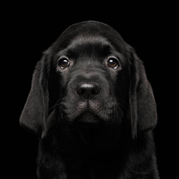 Labrador Retriever puppy isolated on black background stock photo