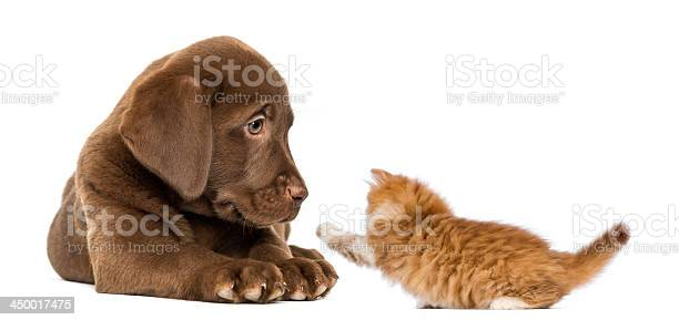 Labrador retriever puppy looking at a playful ginger kitten picture id450017475?b=1&k=6&m=450017475&s=612x612&h=kwmsfngjl1ligpvc4yvgpctjrwatsfd5ayv1uyjqlci=