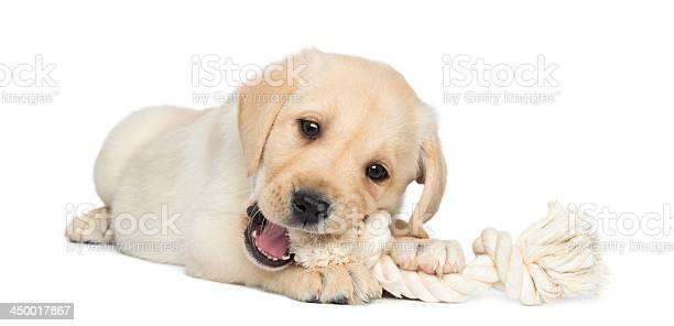 Labrador retriever puppy lying and chewing a rope toy picture id450017867?b=1&k=6&m=450017867&s=612x612&h=euy8fphi2a10jjzzncjzz5qps2yjhvcei3cegrpraxu=
