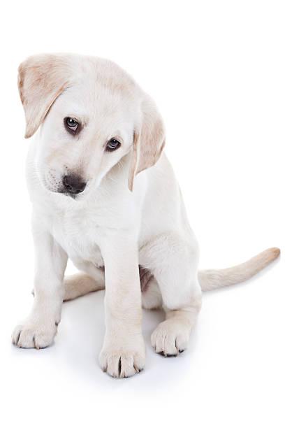 Labrador retriever puppy picture id181709594?b=1&k=6&m=181709594&s=612x612&w=0&h=xoawd2ypq2iompf6tgih7byktlywzzmnpqy9z6psixg=