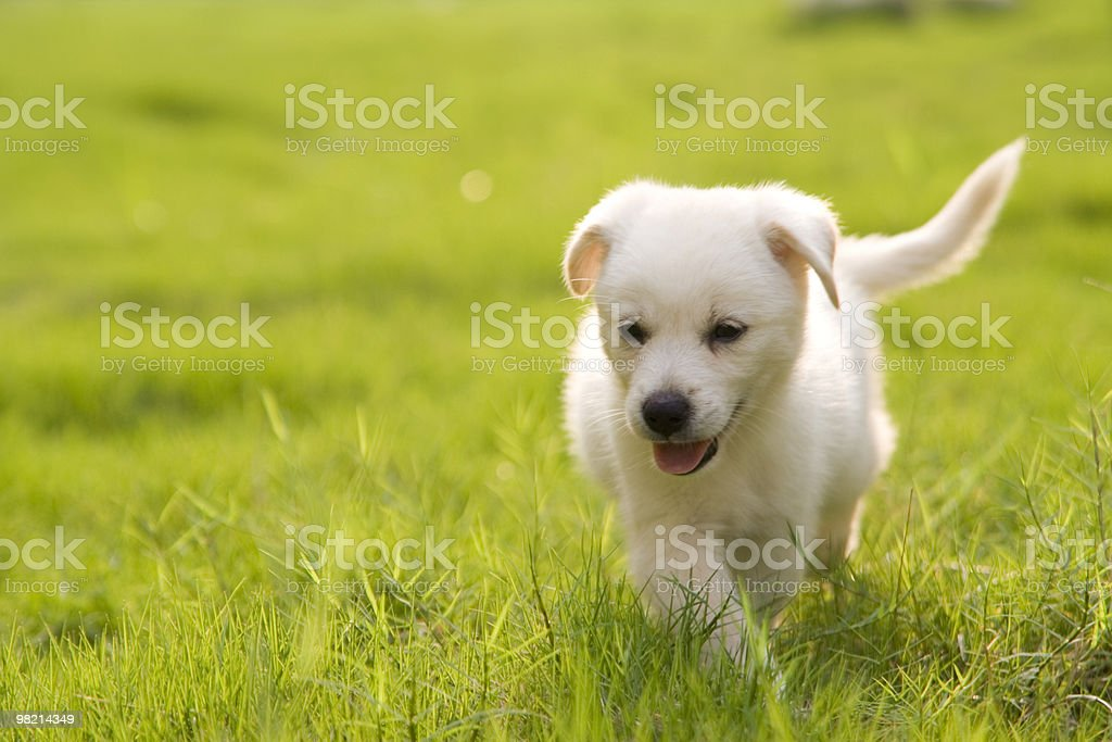 A Labrador retriever puppy playing in the grass royalty-free stock photo