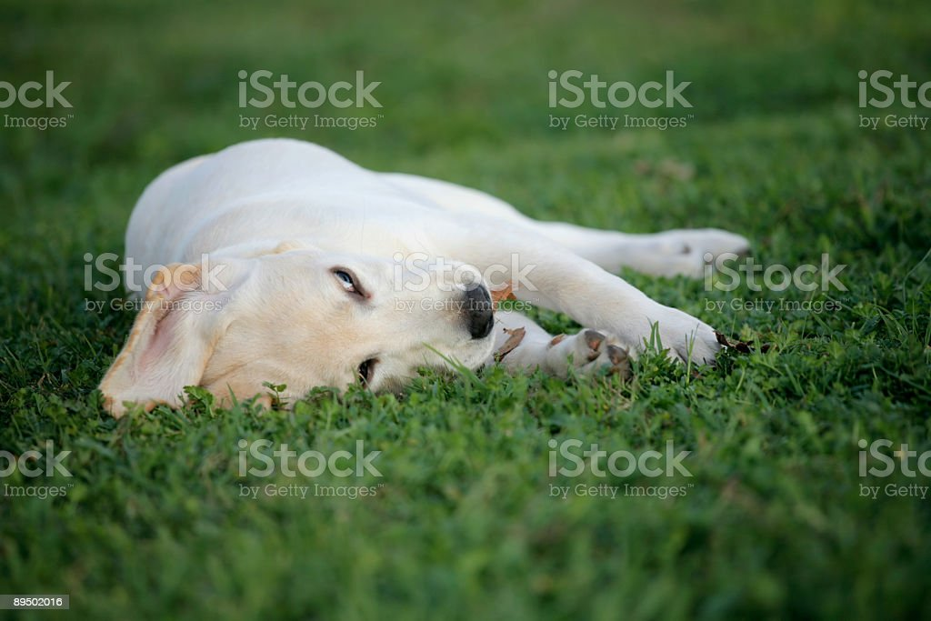 Labrador Retriever Puppy resting in grass royalty-free stock photo