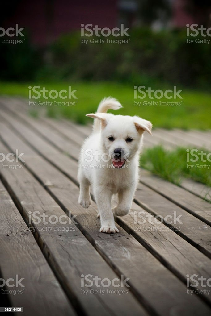 Labrador retriever puppy running along a wooden path royalty-free stock photo