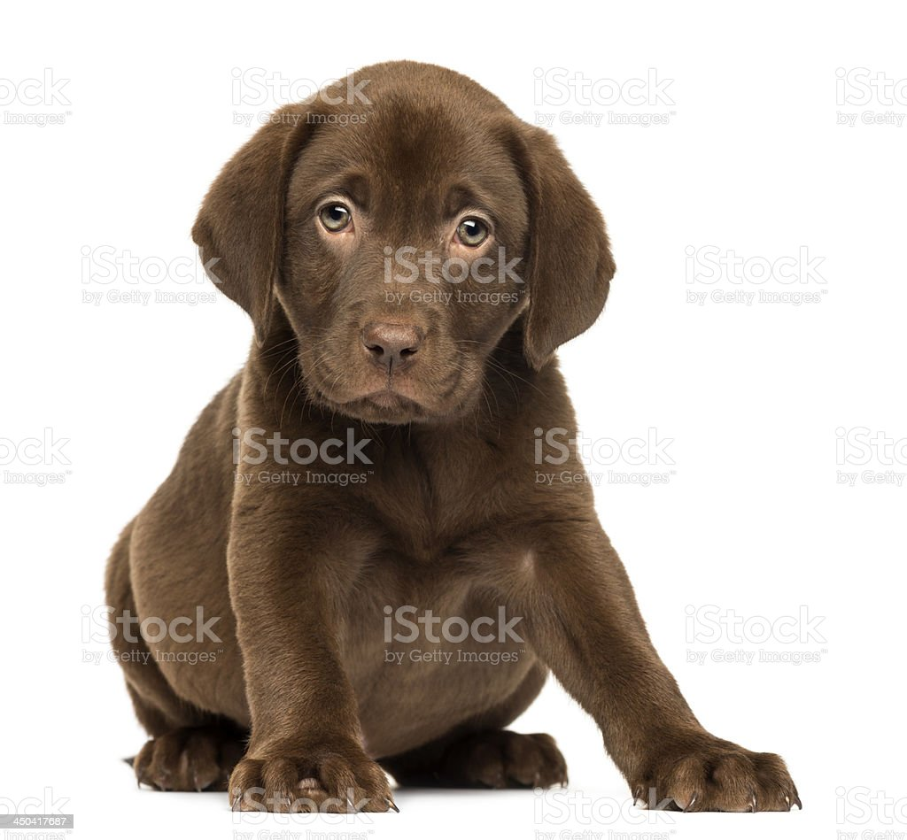 Labrador Retriever Puppy sitting and facing, isolated stock photo
