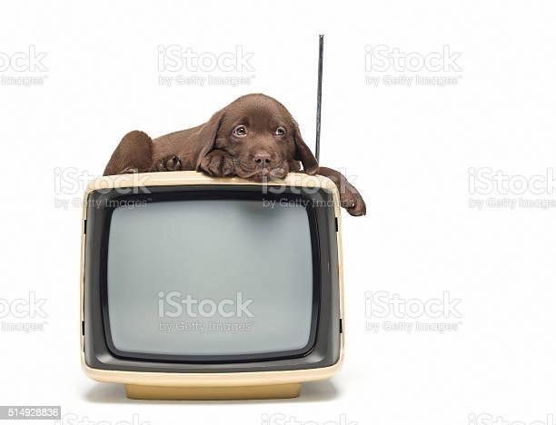 Labrador retriever puppy sitting on the television picture id514928836?b=1&k=6&m=514928836&s=612x612&h=znlxumi9zou5mqstrfzamotmo7z2lovjijufqqzyome=