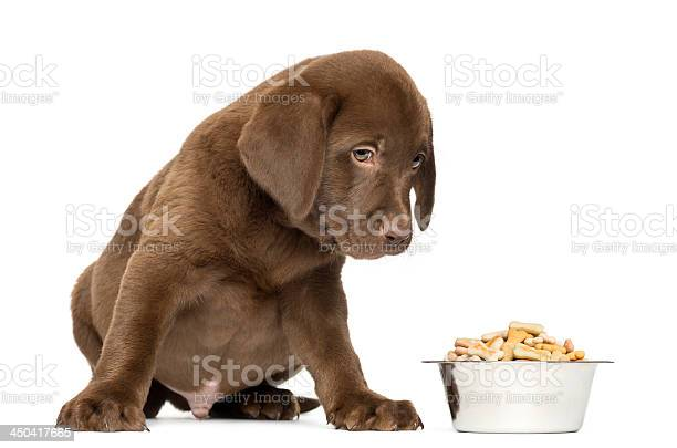 Labrador retriever puppy sitting with full dog bowl isolated picture id450417665?b=1&k=6&m=450417665&s=612x612&h= hgvdn9pqrdwkumiutvegx25pdzdnuijizpccx3mlqi=