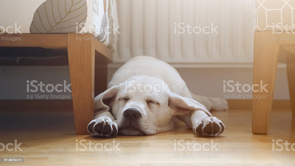 labrador retriever puppy sleeps at home on the floor – Foto