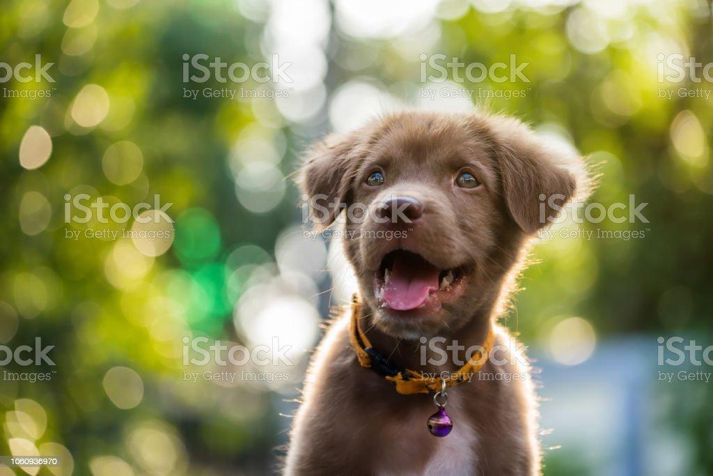 Labrador Retriever-Welpe mit natürlichen bokeh – Foto