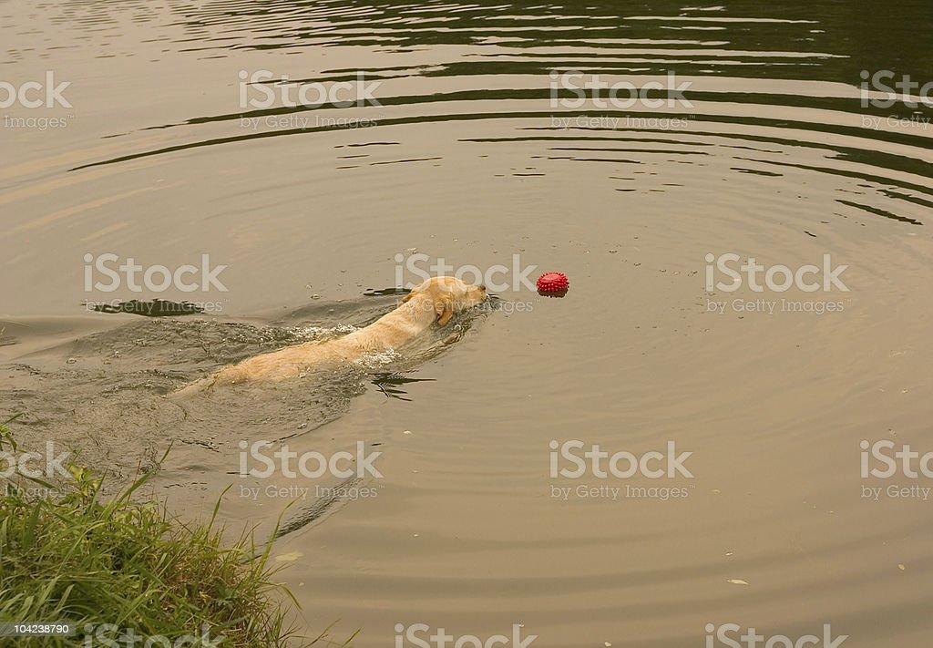 Labrador Retriever Rescuing A Toy royalty-free stock photo
