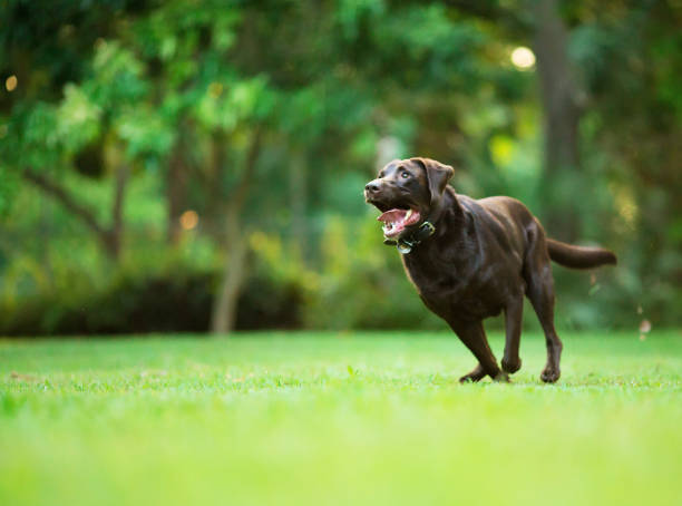 labrador retriever running - labrador retriever foto e immagini stock