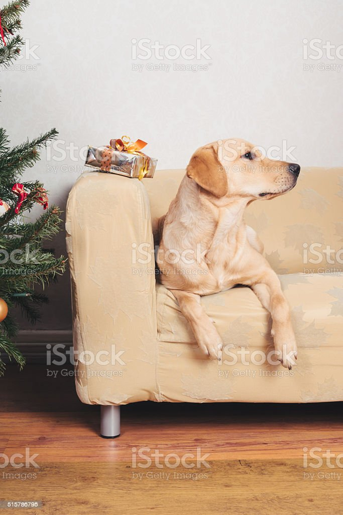 Royalty Free Christmas Tree And Golden Retriever Pictures Images