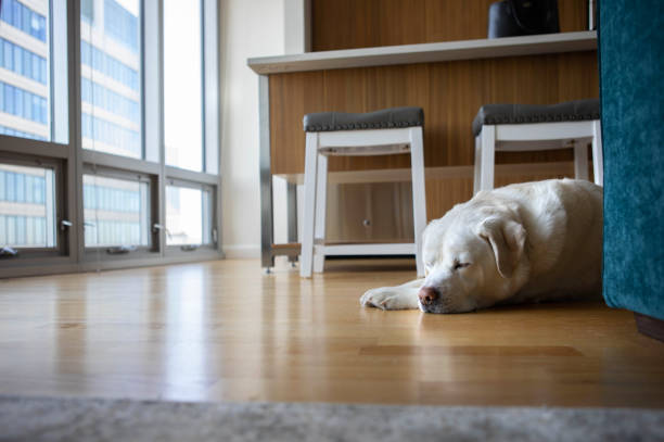 Labrador Retriever Sleeping on the Floor of a City Apartment stock photo