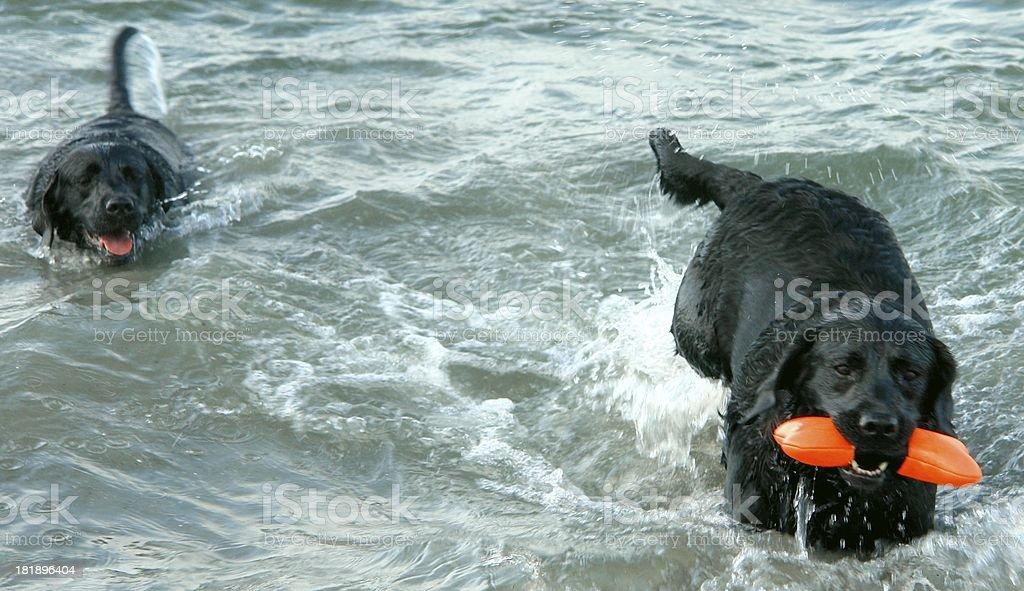 Labrador Retriever Water Dogs stock photo