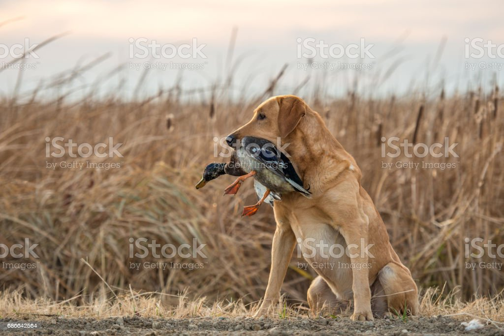 Labrador Retriever with Duck royalty-free stock photo