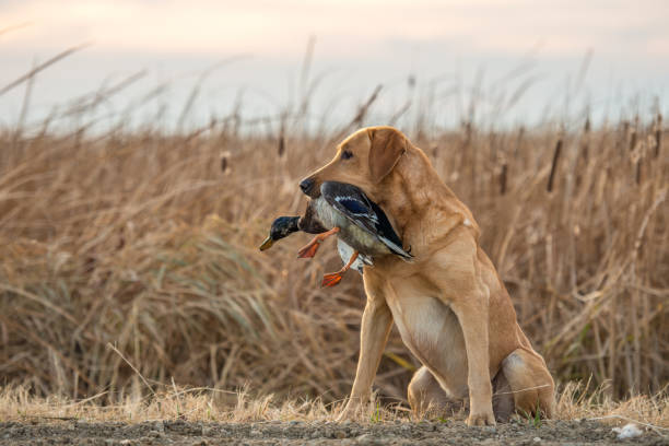 Labrador Retriever with Duck A labrador sits obediently with a mallard duck. hunter stock pictures, royalty-free photos & images