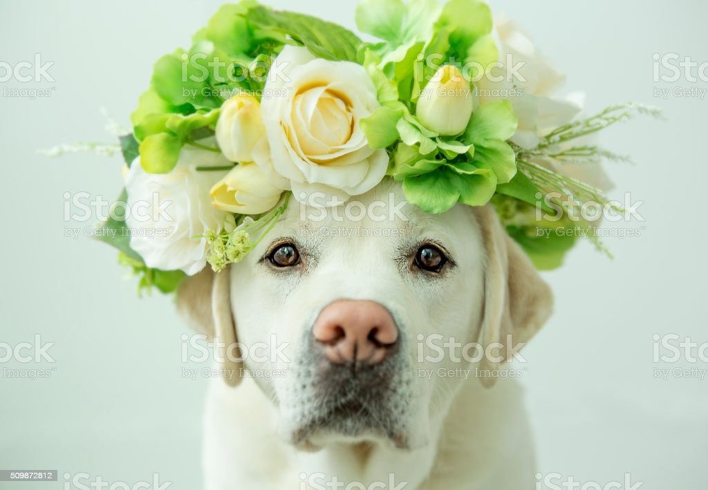 A labrador retriever looking glamorous with a flower crown on his...