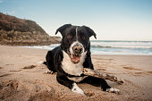 Labrador with Border Collie dog portrait. These dogs are known as 'Borador' dogs.