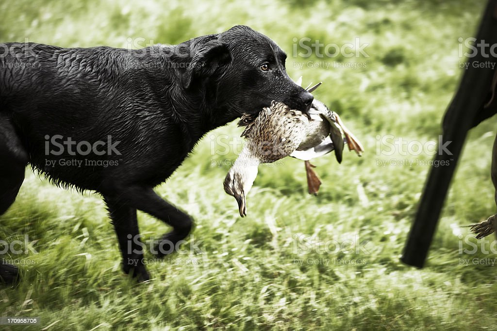 Labrador with duck royalty-free stock photo