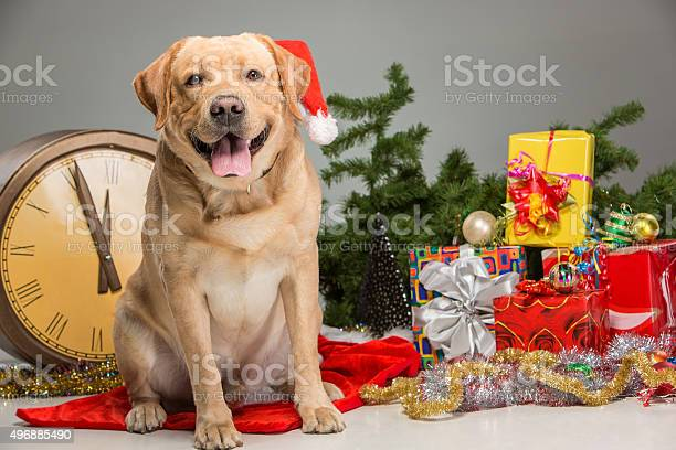 Labrador with santa hat new years garland picture id496885490?b=1&k=6&m=496885490&s=612x612&h=cxqvxcrcakvvwjm2ahv9knwk8gybtbajthxqgscrsi0=