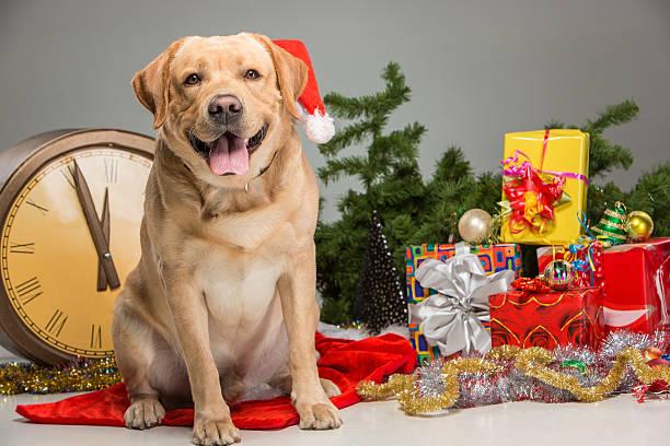 Labrador with santa hat new years garland picture id496885490?b=1&k=6&m=496885490&s=612x612&w=0&h=fr4tidzqmwp lf2fig7ps 4moxkfrjnfa6 dy1x2diu=