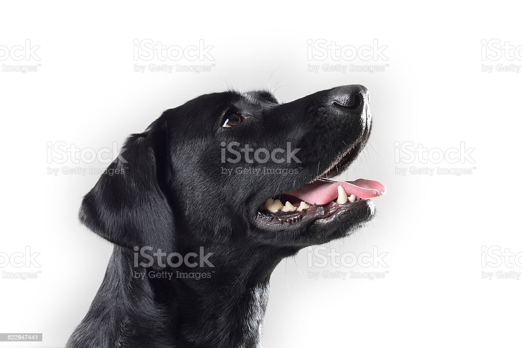 Labrador - 9 – Foto