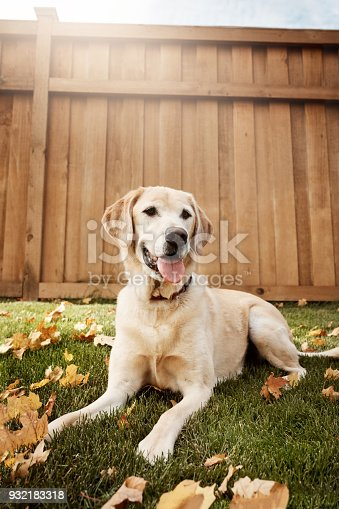 istock Labradors are one of the most lovable and loyal dogs 932183318