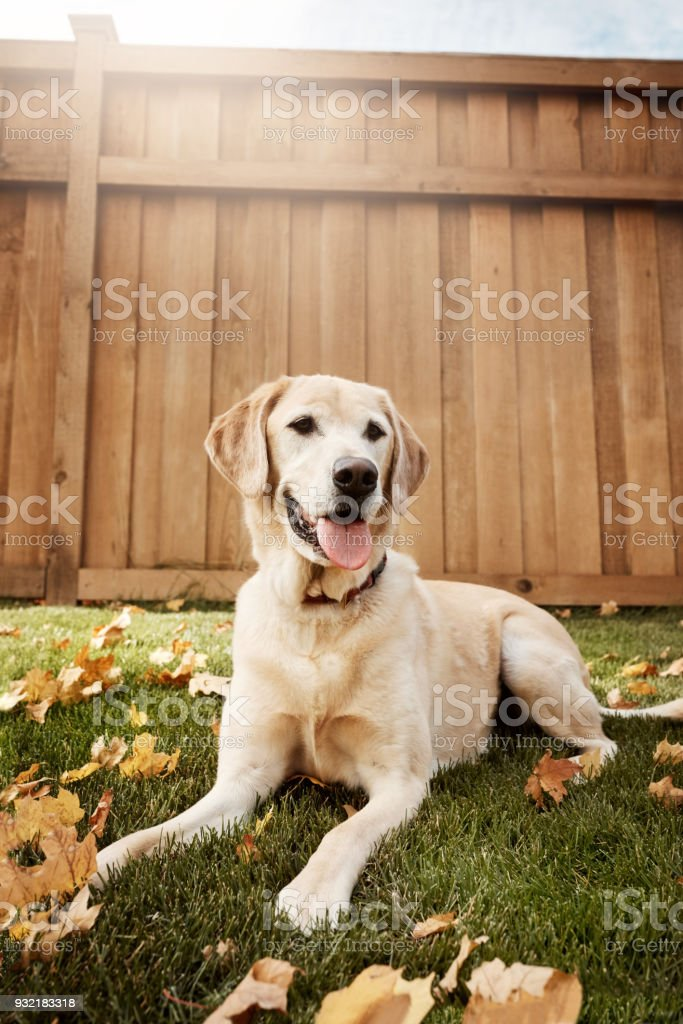 Labradors are one of the most lovable and loyal dogs stock photo