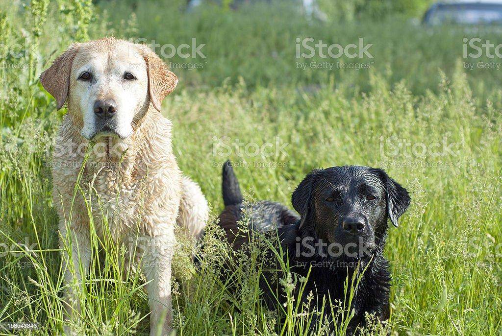 Labradors – Foto