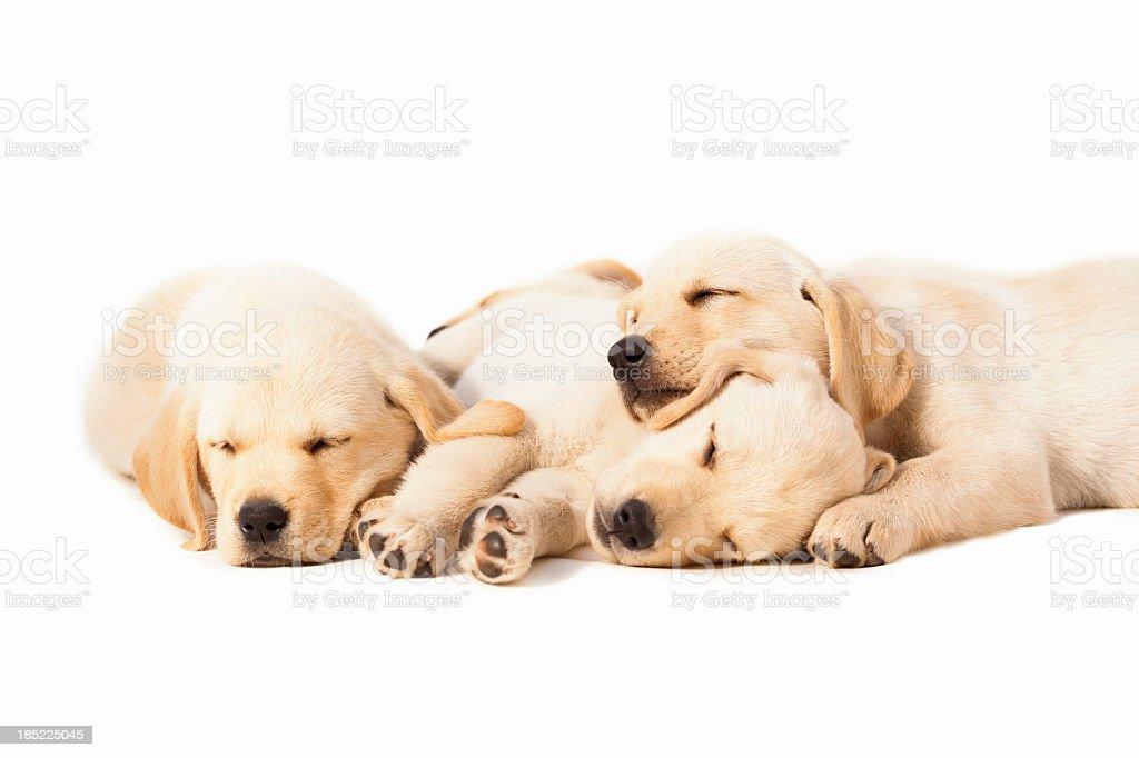 Labradors Sleeping Over White Background stock photo