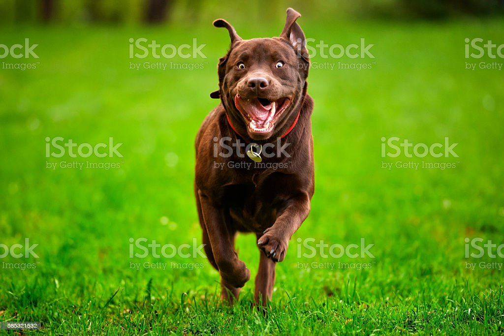 Labrodor Dog Run stock photo