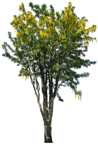 Laburnum anagyroides or golden chain tree isolated on white stock photo